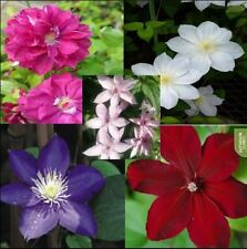 Vine Clematis potted clematis garden flowers no the clematis 20 seeds