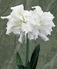 Amaryllis Bulb Barbados Lily Root Hippeastrum Bulb,2,4,6,8Pcs,Beautiful White