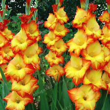 Gladiolus Bulbs, Not Gladiolus Seeds, Flower Symbolizes Longevity
