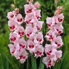 Gladiolus Bulbs, Not Gladiolus Seeds, Flower Symbolizes Longevity, Pink #22