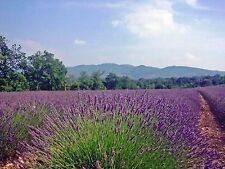 Lavender- Fragrance Oil - multiple sizes - concentrated