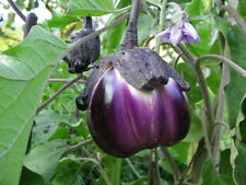 Eggplant Seeds-Violetta Di Firenze-Large stocky-heirloom stuffing variety-GREAT!