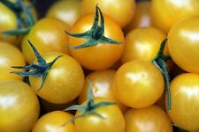 Golden Sweet Cherry Tomato - High yields of small yellow cherry tomatoes!! GOOD!