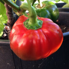 Topepo Rosso Pepper - Peppery-Sweet, Thick Walled, and Delicious!! Free Ship!!