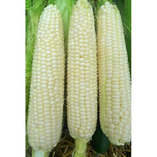 Hickory King Dent Corn - A great roasting & hominy corn! Grits & corn meal too!!