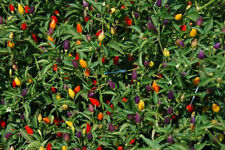 Deluxe Ornamental Pepper Seed Mix!!!- A GIANT Mixture of the most popular types!