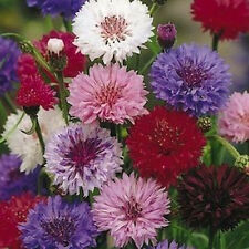 Bachelor's Button (Tall Mix) Seeds - Polka Dot mix of colors - FREE SHIPPING!!!!