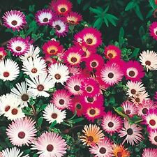 'Ice Plant' - Masses of two-inch daisy-like flowers!! Wide range of colors!!!!