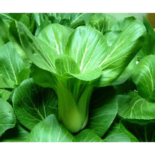 Shanghai Green Pak Choi-Mild flavor-Creamy texture  tender and very delicious!!