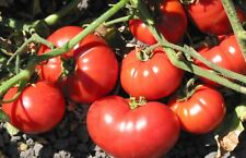 OLD VIRGINIA TOMATO SEEDS -  Bumper crops of 8 to 12 ounce dark red fruit!!!!!