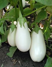 White Star Eggplant Seeds(Hybrid) - Ideal for Italian and Asian dishes! Looker !