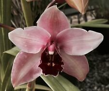 Cymbidium__KAYLIE__EASY OUTDOORS orchid pink white flowers EZ