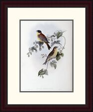 Global Gallery 'Black Headed Bunting' by John Gould Framed Painting Print