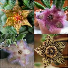 Stapelia SEEDS MIX Succulent cactus~Starfish Plant Seeds Mix