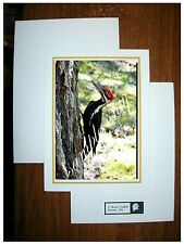 "PILEATED WOODPECKER - 4""X6"" PHOTO ON 5""X7"" CARD STOCK W/ENVELOPE - BIRD AUDUBON"