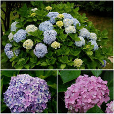 100Pcs Hydrangea Flower Seeds Mixed Color Potted Bonsai Plant Seed Garden Decor