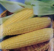 Sweet Corn Seed: Late Illini Extra Sweet Corn Seed  Fresh Seed  FREE Shipping