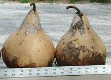 Gourd Seed: Martinhouse Gourd Seeds  Fresh Seed  FREE Shipping