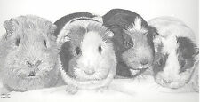 GUINEA PIGS Ltd Edit art drawing print  2 sizes A4/A3 &  card available