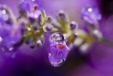 Lavender Rain Scented Fragrance Oil -U Pick Size for Crafting Soap/Candle making