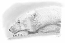 POLAR BEAR Limited Edition art drawing prints  2 sizes A4/A3 & card Available