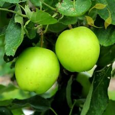ANTONOVKA APPLE Malus Domestica Antonovka 10,20,60,120 SEEDS