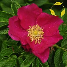 RED RUGOSA ROSE Rosa Rugosa Rubra 10,30,50,100 SEEDS