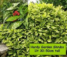 Garden Shrubs Aucuba SHADE LOVING YELLOW GREEN LEAVES Hardy Evergreen Plant Bush