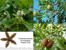 Australian Teak Seeds Flindersia australis Fast Shipping from USA Rare Tropical