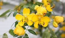 Buttercup Tree Cassia corymbosa Seeds Fast Shipping From USA!
