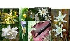 Not Edible, Beautiful Rare Unusual Scented Fragrant  - Many varieties - Seeds