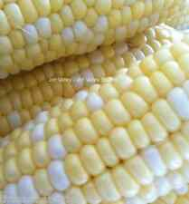 Peaches and Cream Sweet Corn Seeds! Two Colors Two Flavors! Treated Non GMO Seed