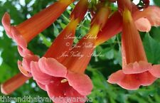 Hummingbird Vine Seeds  Fast  Shipping From USA  Campsis radicans