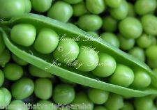Early Alaska Heirloom Pea Seed! Garden Seeds! Fast Shipping from USA! No GMO
