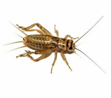 "Live Crickets 100-250 ct. 1/4"" to Adults ""FREE SHIPPING"" Starting at $11.99"