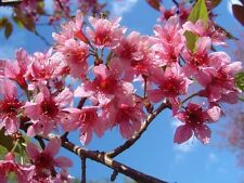 Prunus Cerasoides Puddum 20/50/100/300 Seeds, Wild Himalayan Cherry Tree, Bonsai