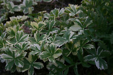 Astrantia major 'Sunningdale Variegated' - garden tested, hardy perennial plant