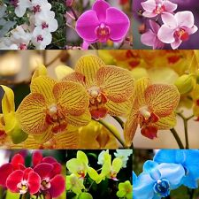 beautiful Butterfly Orchid Orchids Orchid Seeds x