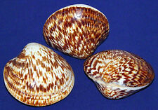 """Polished Bittersweet Clam Paired 3"""" Shell~Pecten,Cockle,Scallop Craft Seashells"""