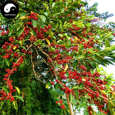 Buy Ilex Rotunda Tree Seeds 60pcs Plant Kurogane Holly Chinese Tie Dong Qing
