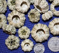 Sailor Valentine Urchin Shell Supplies, Small Sea Urchins, Shell Crafting, #26