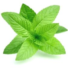 10ml Peppermint Essential Oil - 100% Pure & Natural Aromatherapy Grade Oils