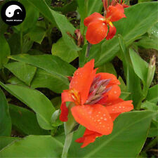 Buy Canna Indica Flower Seeds Plant Canna Lily Flower Garden