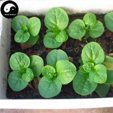 Buy Ceylon Spinach Vegetable Seeds Plant Leaf Vegetables Basella Alba