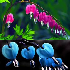 10PCS Perennial Herbs Dicentra Spectabilis Flower Plant Bleeding Heart Seeds New