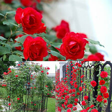 100PCS Red Purple Climbing Rose Seeds Rosa Multiflora Perennial Fragrant Flower