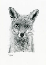 RED FOX (2) Limited Edit art drawing print  2 sizes A4/A3 & card available