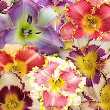 PREMIUM ASSORTED DAYLILY SEEDS, LATEST INTRODUCTIONS, NEW HYBRIDS, DAYLILY SEEDS