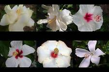 Tropical Hibiscus White Collection Choose One (1) Single Double Flowers SZ4P