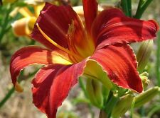Red daylilies - 6 plants of all red daylilies - 2 Fans - Free Shipping